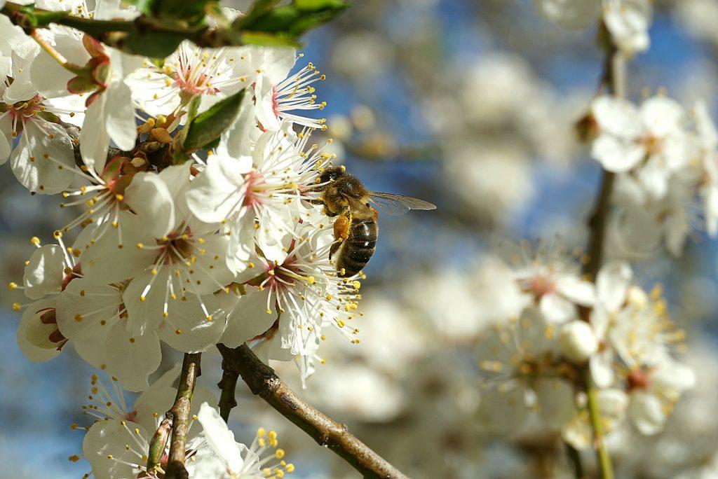 ミツバチ 花